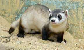 Endangered Black-Footed Ferret Cloned For The First Time