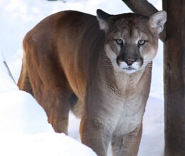 Nebraska Mountain Lion Season Ends Early With Harvest Limit Met